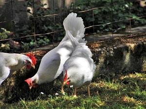 Francia, no alle galline in gabbia: consentito solo l'allevamento all'aperto