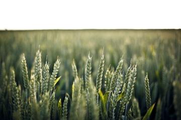 L'anno del grano 100% italiano