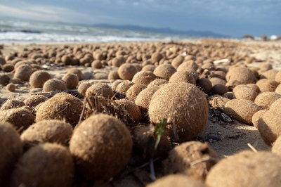 Le palle di Nettuno di Posidonia spazzine del mare