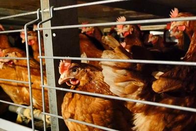 Aziende alimentari contro le gabbie negli allevamenti