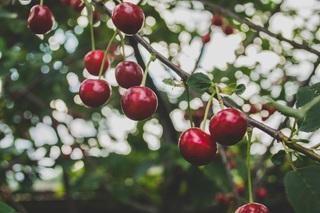 Gelate tardive, oltre 860 milioni di euro di danni alla frutticoltura estiva