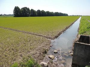 Risaie, verso un uso sostenibile dell'acqua