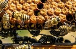 Miele d'acacia, persi in Lombardia 3 vasetti su 4